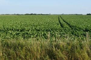 Mezőgazdasági terület Szentes határában